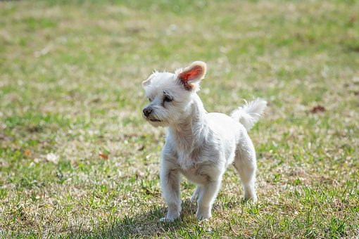 Dog, White, Small, Meadow, Out, Nature, Spout
