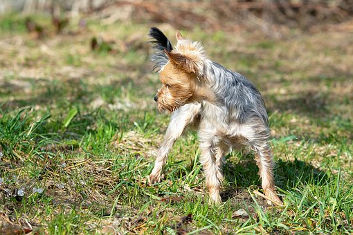 Dog, Small, Yorki, Out, Tense, Wet, Water, Nature