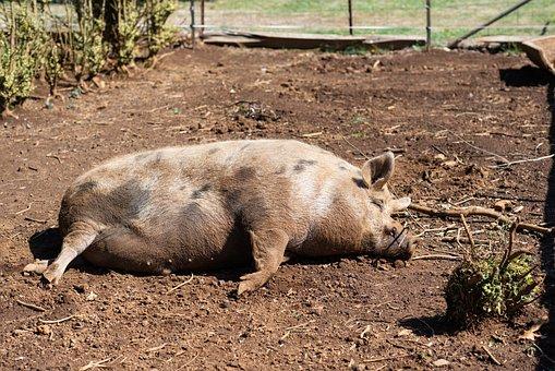Pig, Pig Sty, Animal, Livestock, Farm, Snout, Mammal