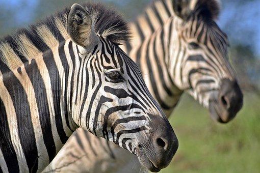 South African Wildlife, Umfolozi Game Reserve, Zebra