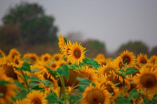 Sun Flower, Flowers, Yellow Flowers, Sun, Fields