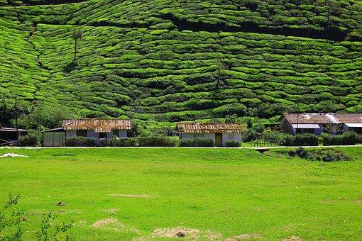 Tea, Plantation, Nature, Landscape, Green, Agriculture