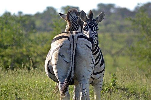 Zebra, Umfolozi Game Reserve, South African Wildlife