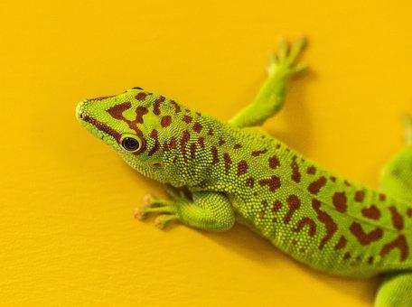 Hir, Zoo, Gecko, Green, Red, Lizard, Close Up, Yellow