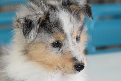 Dog, Bitch, Young Bitch, Puppy, Puppy Shetland Sheepdog
