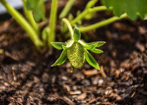 Strawberry, Fruit, Berry, Plant, Young, Early, Green