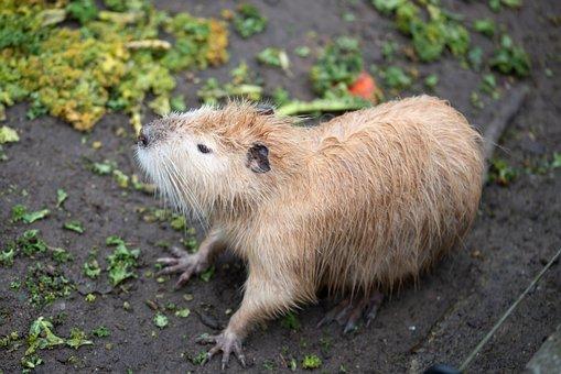 Beaver, Animal, Rodent, Mammal, Water, Animal World