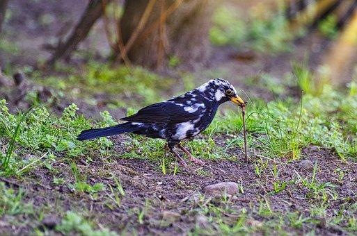 Blackbird, Earthworm, Foraging, Black And White