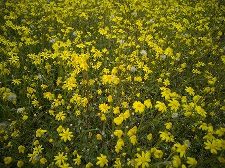 Daisies, Spring, Yellow, Botanical, Summer