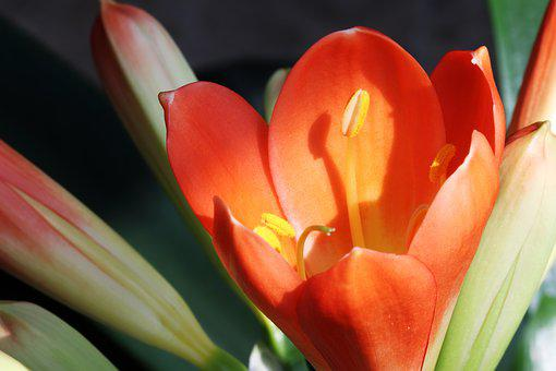Clivia Miniata, Flower, Flowers, Beautiful, Plants