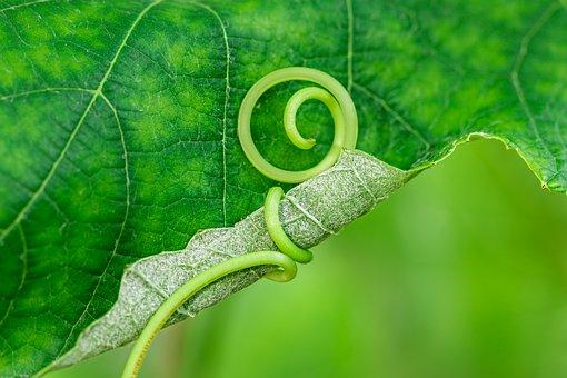 Vine, Tendril, Embrace, Green, Noose, Grapevine, Knot