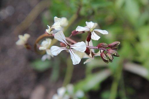 Salad, Rocket, Flowers Of Arugula, Garden, Flowering