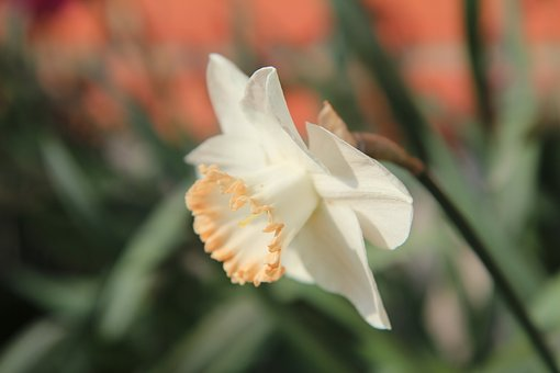 Narcissus, Bulbs, Spring, Flowering, Daffodil
