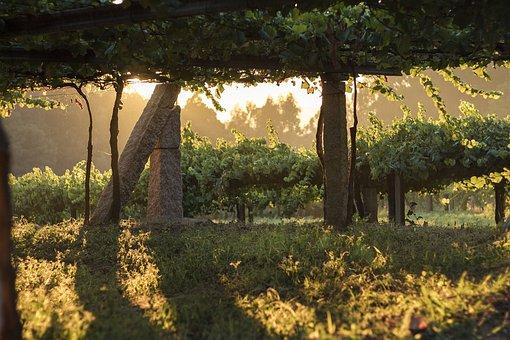 Vineyard, Vine, Grape, Grapes, Wine, Vines, Vineyards