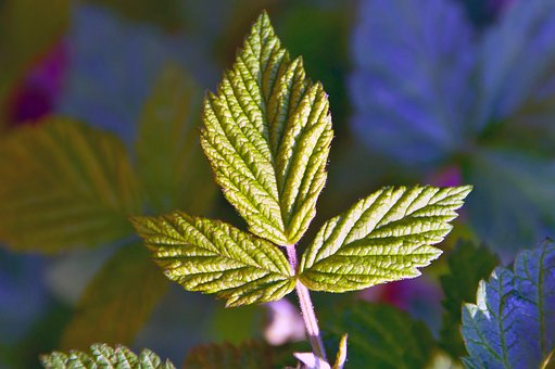 Raspberry, Green, Green Raspberry Leaf, Fruit, Healthy