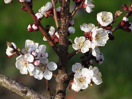 Tree, Sprig, Flowering, Inflorescence, Spring, Garden