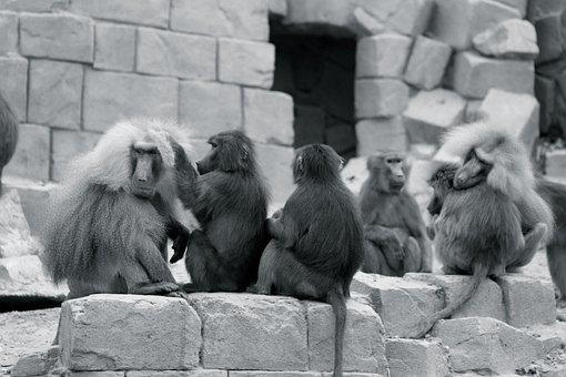 Monkey, Zoo, Chimpanzee, Mammal, Animal World, Emmen