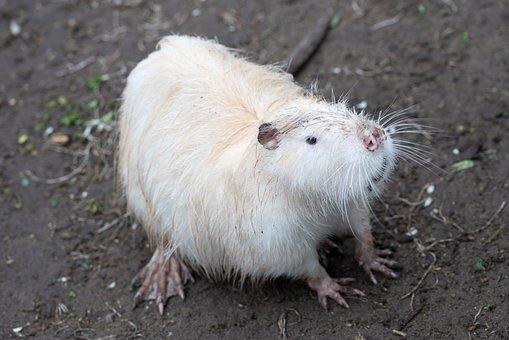 Beaver, Animal, Zoo, Rodent, Water, Mammal