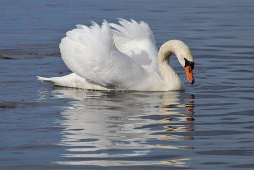 Mirror Image, Swan, White, The Backlight, Swim, Plumage