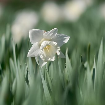 Flower, Narcissus, White, Spring, Blooming