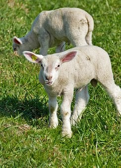 Agriculture, Cattle Breeding, Sheep, Lamb, Nature