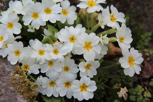 Primroses, Primroses White, Nature, Garden, Flowering
