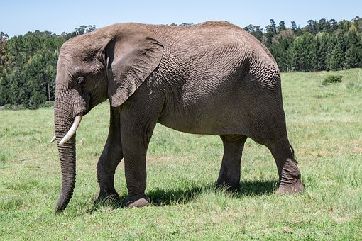 Elephant, Old, Tusker, Mammal, Animal, Nature, Large