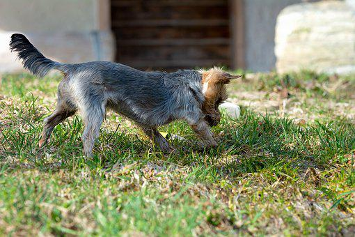 Dog, Out, Play, Water, Playful, Meadow, Garden, Yorki