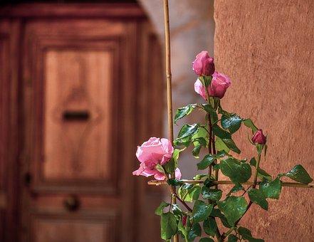 Rosebush, Roses, Rose, Flowers, Pink, Nature, Plant