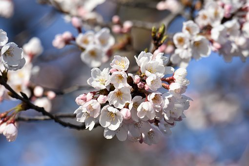 Natural, Landscape, Plant, Cherry Blossoms, Cherry Tree