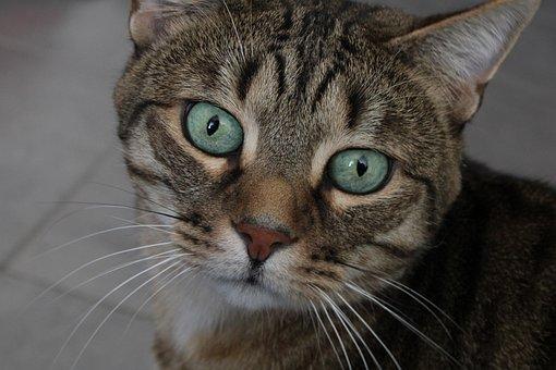 Cat, Pet, Animal, Kitten, Portrait, Eyes, Domestic