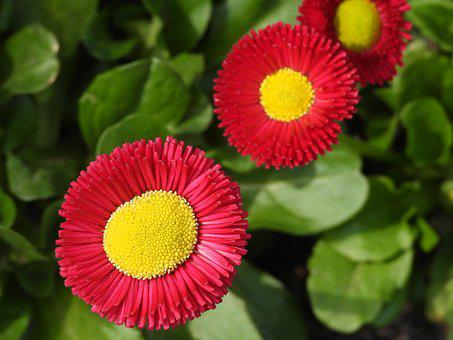 Daisy, Flowers, Potted, Spring, Red, Yellow, Figure