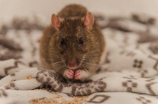 Rat, Animal, Nice, Sweet, Fur, Small, Pet