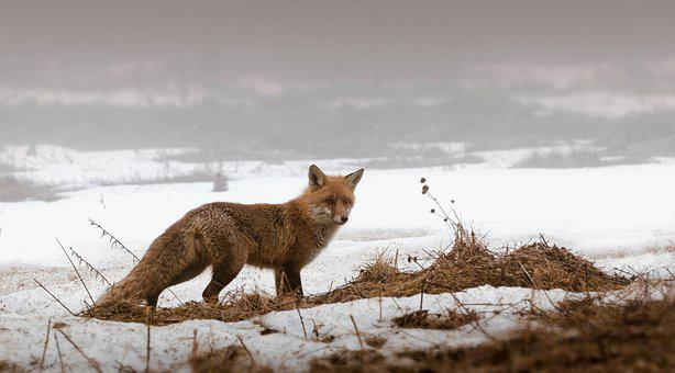 Fox, Snow, Wildlife, Nature, Winter, Animal, Mammal