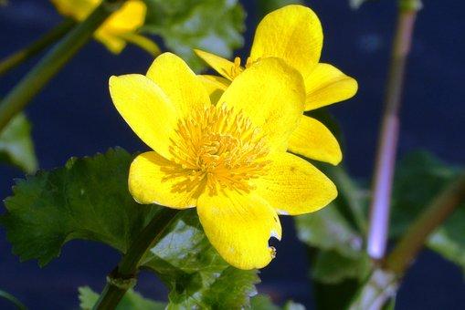 Marsh Marigold, Ditch, Spring, Flower, Nature, Flowers