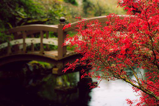 Red, Maple, Rain, Pond, Drops, Bridge, Spring, Young