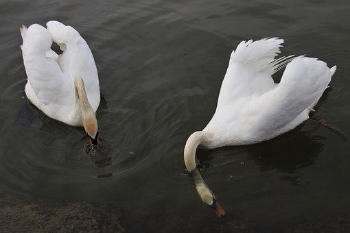 Mute Swan, Swim, White, Diving, Feather, Search, Deeply