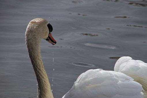 Water Bird, Swan, White, The Backlight, Neck, Swim