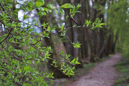 Twigs, Green, Forest, Branch, Foliage, Way, Spring