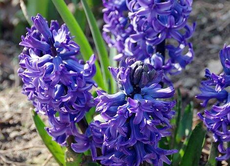 Hyacinths, Jacinthus, Lily, Flower, Violet, Button