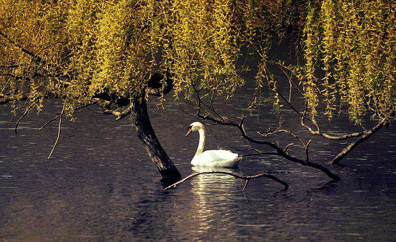 Swan, Pond, Water, Animal, Bird, Nature, Water Bird