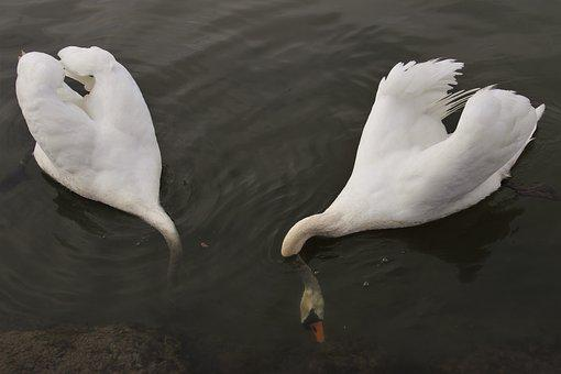 Swan, Diving, Two, Swim, Plumage, Feather, Birds, White