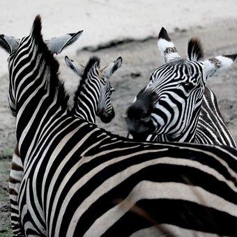 Zebra, Zoo, Africa, Animal World, Wild, Animals