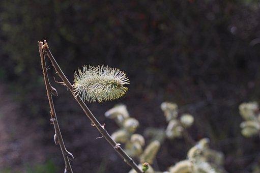 Willow Kätzschen, Pasture, Bush, Willow Catkin, Blossom