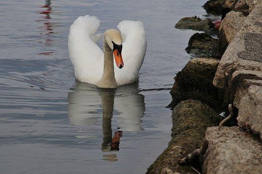 Beak, Bird, Rocks, Swan, Wing, Quiet, White, Pen, Water