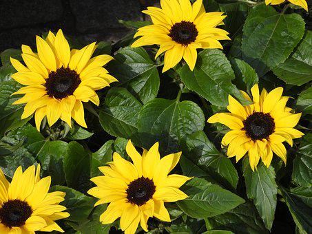 Flowers, Sunflowers, Potted, Garden, Yellow, Spring