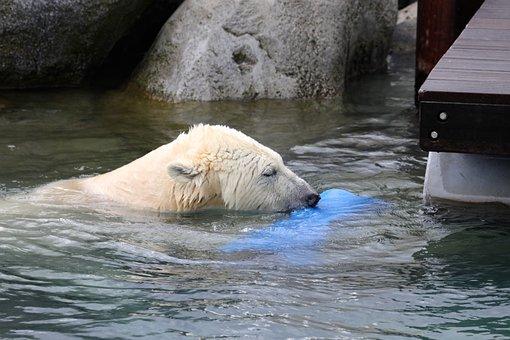 Polar Bear, Animal, Animals, Zoo, Bear, Dangerous
