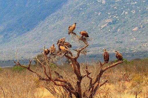 Kenya, Tree, Africa, Vulture, Safari, Savannah