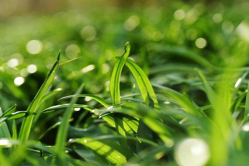 Allium, Onion, Plant, Leaf, Park, Garden, Herbal