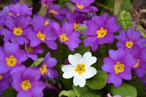 Flowers, Spring, Primroses, Nature, Anders, Unique